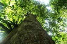 Manfaat pohon ulin